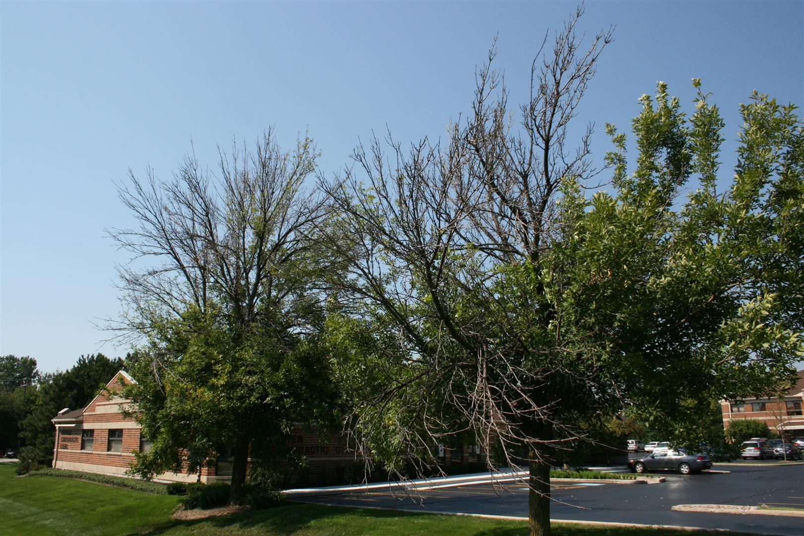 Your Ash Tree Can Be Saved from the Emerald Ash Borer — Facts ...